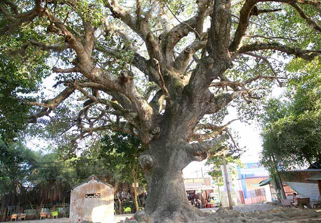 Nằm mơ thấy cây cổ thụ – Cát lợi hay đại họa – Đánh con gì?